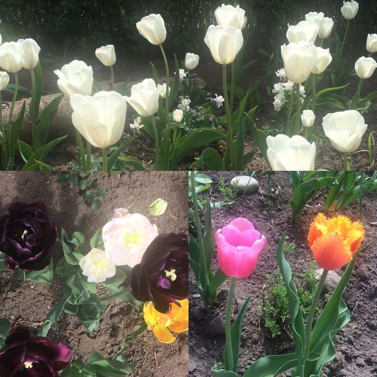 Forårets tulipaner.