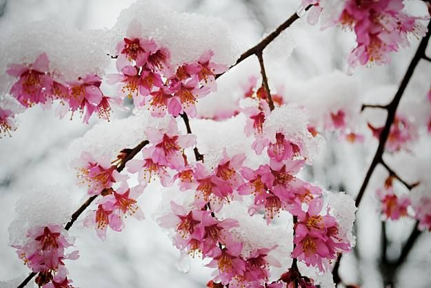 Cherry Blossoms Stunning Winter Garden Plants For A Dazzling Landscape Cherry Blossom Petals Winter Garden Garden Plants