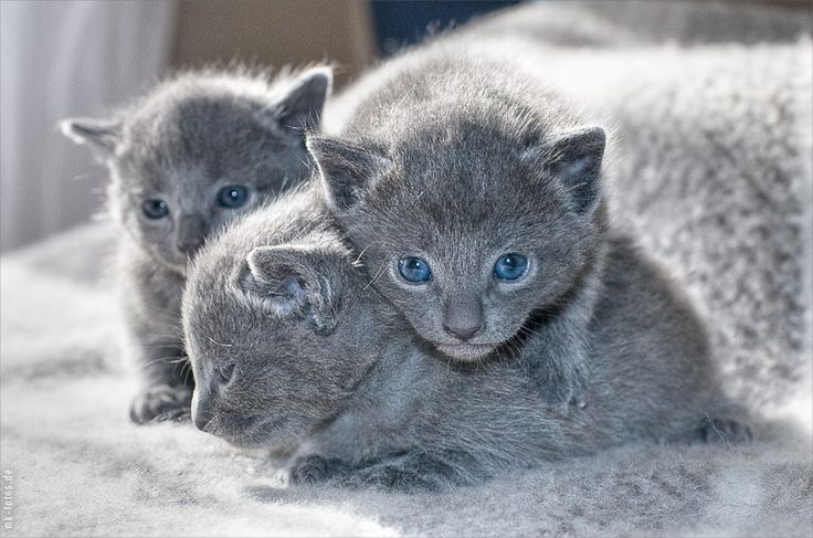 """Russian Blue""  adorable kittens"