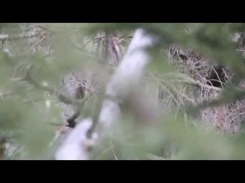 Video #2: Todd Standing Bigfoot video as seen in 2nd Survivorman Bigfoot show with Les Stroud