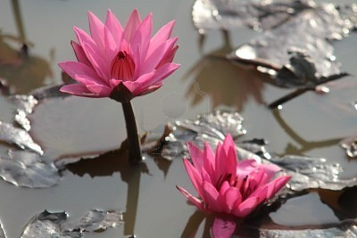 Pretty pink lotus flowers