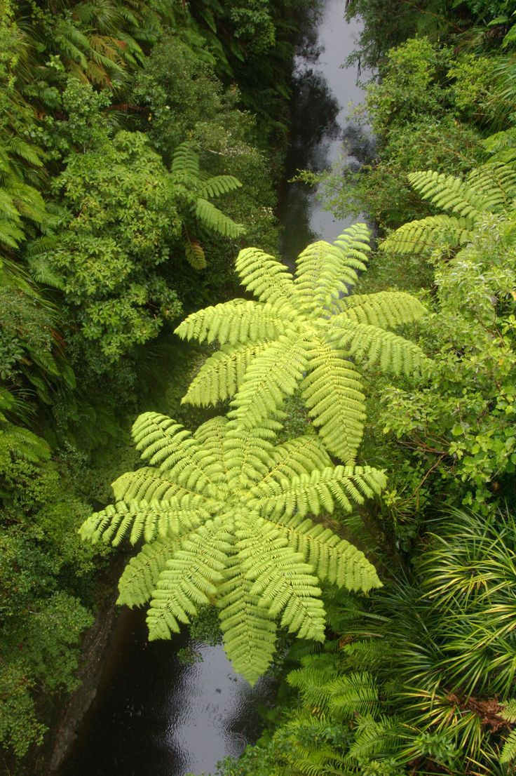 View from the 'Bridge to Nowhere' in the Upper Whanganui area, overlooking tree ferns, NZ