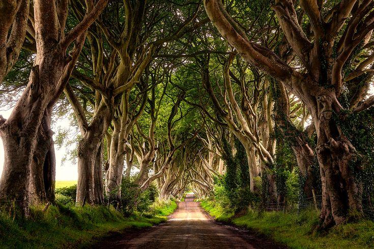 Tunnel de hêtres en Irlande.