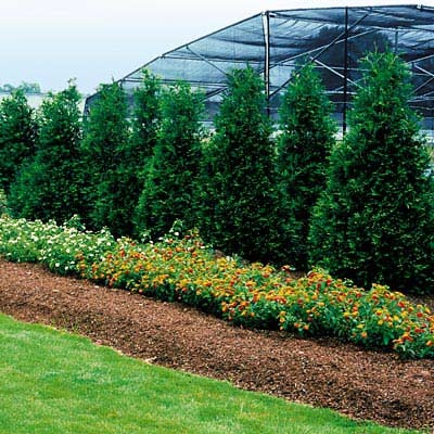 1000 images about arborvitae on pinterest thuja for Arborvitae garden designs