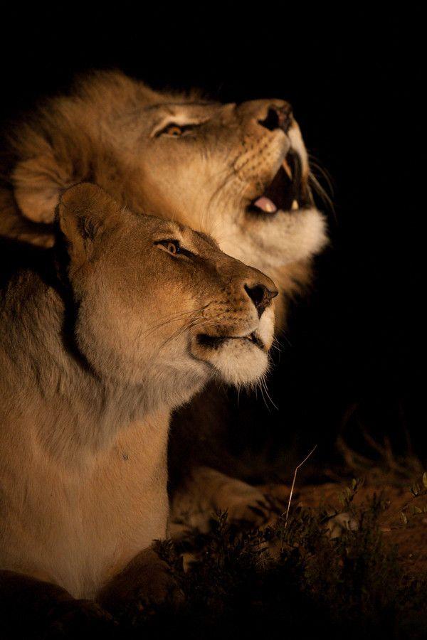Lion Night Roaring to display their territory, Kariega Game Reserve