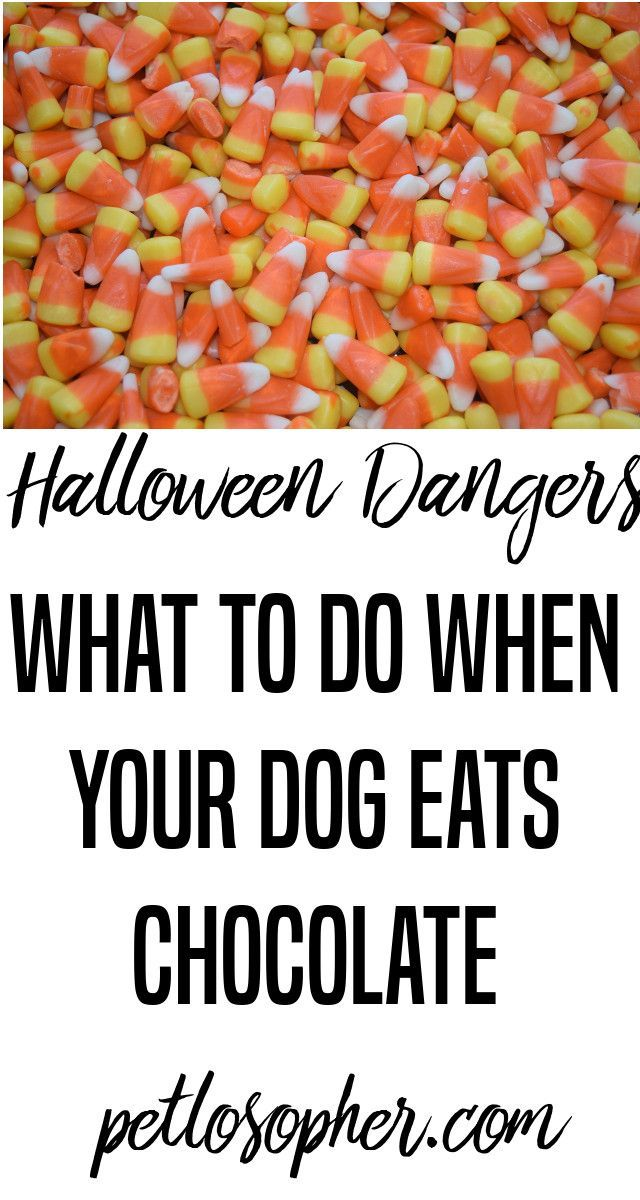 #dogs #dogsafety #halloween | Dogs and Halloween | Dogs and Candy | Chocolate Dangerous for Dogs | Chocolate Kills Dogs | Puppy Safety | Puppy & Chocolate