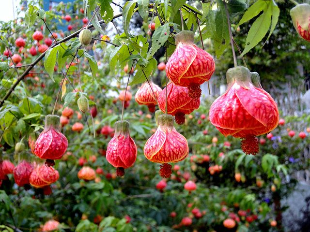 Image result for bell chinese flower pic