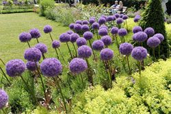 Wenn Sie einen richtig schicken Hingucker im Garten haben möchten, dann sollten Sie Zierlauch pflanzen. Hier 5 Tipps, die Sie dabei beachten sollten.    Schöner Hingucker im Garten: der Zierlauch Wenn die absolut imposant wirkenden Blumenkugeln, die sich wuchtig auf ihren dünnen Stengeln platzieren, alljährlich in den Gartenanlagen zum Erblühen kommen, können wir uns kaum an ihnen satt se ...