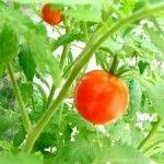 Foto Tanaman Tomat Merah Dengan Daun Hijau Segar