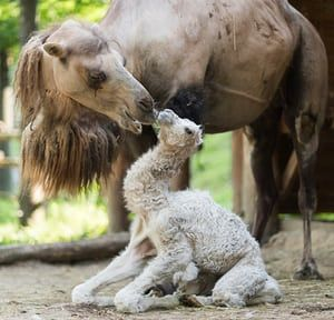 Budapest, HungaryA newborn bactrian camel (Camelus bactrianus) is nuzzled by her motherat the Nyiregyhaza Animal Park