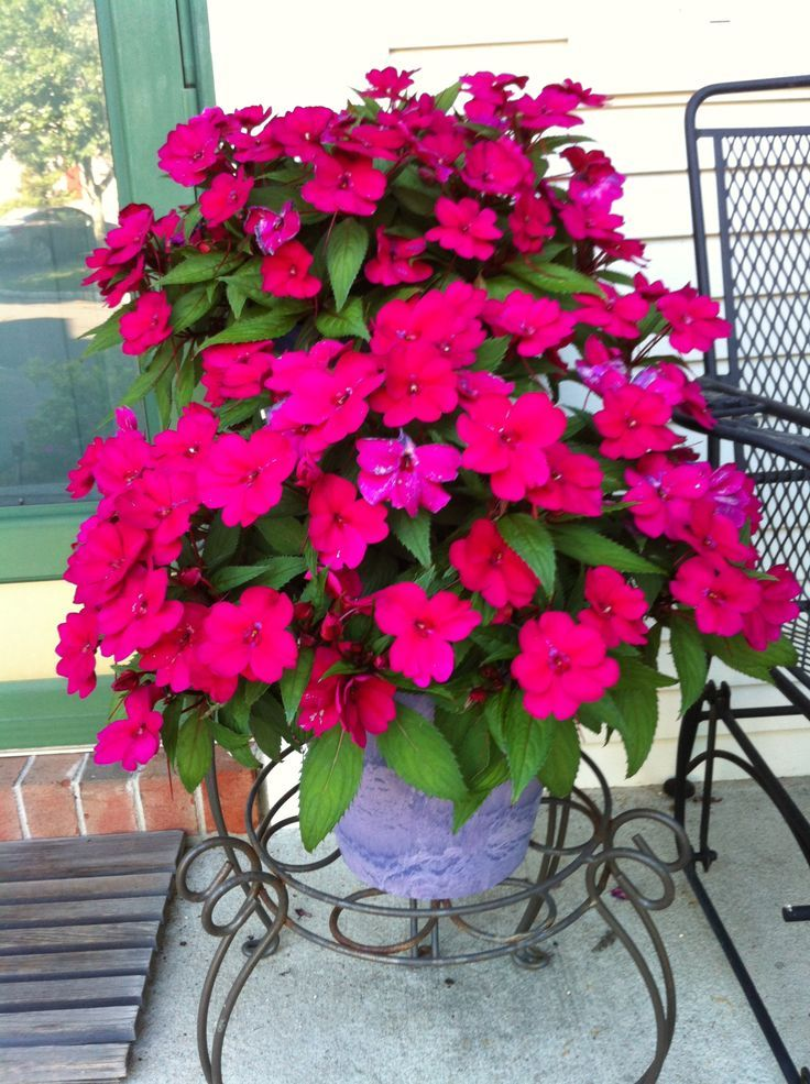 These Are Called Quot Sunpatiens Quot I Have Posted These In