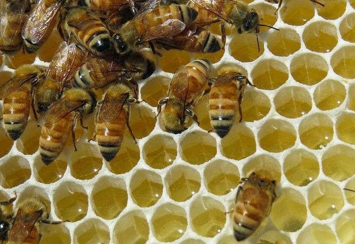 Ορεινή Μέλισσα: Κτισμένες κηρήθρες -Από πλευράς χωρητικότητας, τα 6900 κελιά μιας κηρήθρας χωράνε: 6900 άτομα γόνου ή 3000 γραμμάρια μέλι ή 1100 γραμμάρια γύρης και 2000 μέλισσες.