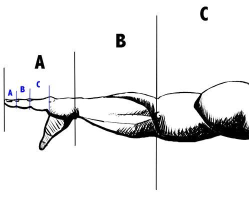 Fibonacci numbers in the human body