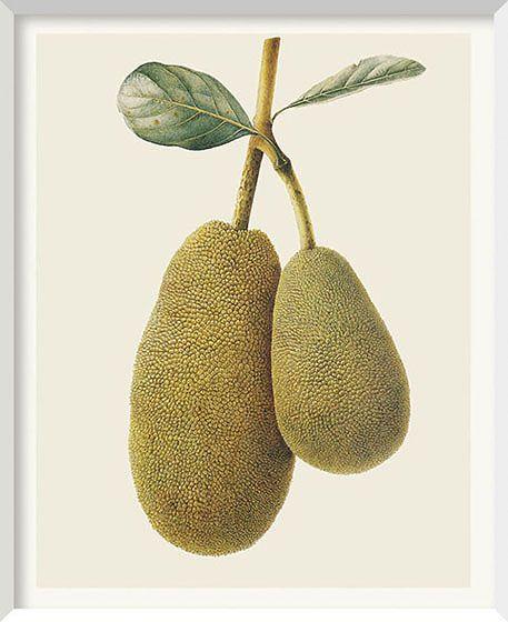 Brigid Edwards I Artocarpus hererophyllus (Jackfruit)