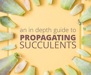 Learn how to propagate succulents can from leaves and cuttings 300