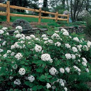 viburnum mature singles Viburnums have long been popular flowering landscape shrubs there is no single type of viburnum foliage this plant grows to a mature.