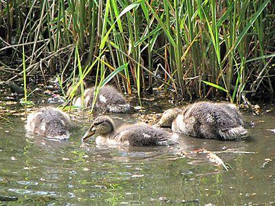 マガモの幼鳥たち mallard duckrings