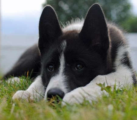 bones the alaskan malamute karelian bear dog mix