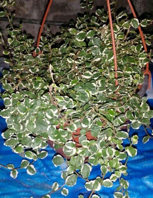 """ Ficus Pumila ""Sunny"", Ficus tapizante, Ficus trepador, Ficus rastrero, Ficus de China, Ficus enano, Enamorada del muro, Higuera trepadora --  Ficus pumila - Ficus repens "" - Nombre científico o latino: Ficus pumila - Sinónimo: Ficus repens - Nombre común o vulgar: Ficus tapizante, Ficus trepador, Ficus rastrero, Ficus de China, Ficus enano, Enamorada del muro, Higuera trepadora. - Familia: Moraceae (Moráceas). - Origen: China, Japón. - Planta trepadora perenne. - Las hojas, de 2 a 3 cm de…"