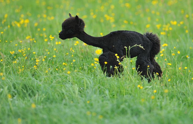 A freshly shaved alpaca walks on a green field at Alpaca-Land farm in Goeming in the Austrian province of Salzburg, on April, 29, 2012. The annual shearing is done in the spring to make the animals more comfortable for the summer months. This will give them plenty of time to grow a thick new coat before winter. (AP Photo/Kerstin Joensson)