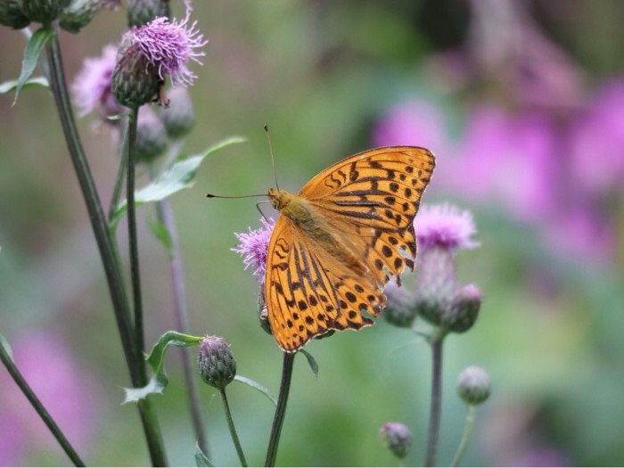 Keisarinviitta / Silver washed fritillary A beautiful butterfly!