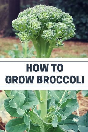 Organic vegetable gardening tips: how to grow broccoli #OrganicGarden #GardeningTips