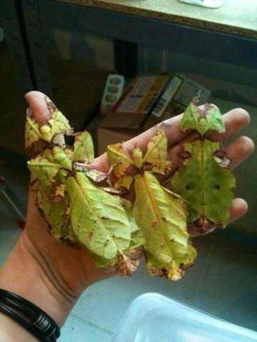 Inseto-folha (Phyllium sp.) da família Phyllidae; os animais desta família são encontrados pela Ásia e Austrália, e possuem uma camuflagem incrível, conseguindo se esconder entre as plantas perfeitamente. Além da cor verde, textura e formato de folha, eles conseguem até mesmo copiar as manchas escuras dos hematomas, e alguns também chegam a imitar folhas secas.