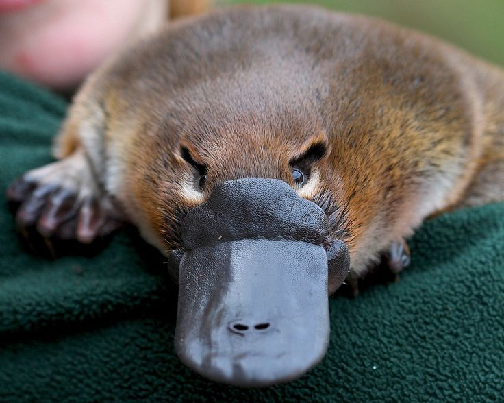 The Iconic Platypus at Healesville Sanctuary
