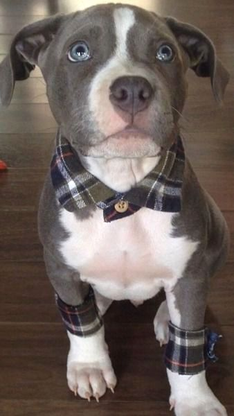 puppy with flannel accessories ❤︎  #bully #pitbull #adorable