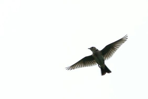 Silhouette of a Lark flying... The perfect tattoo! | Tattoo ...