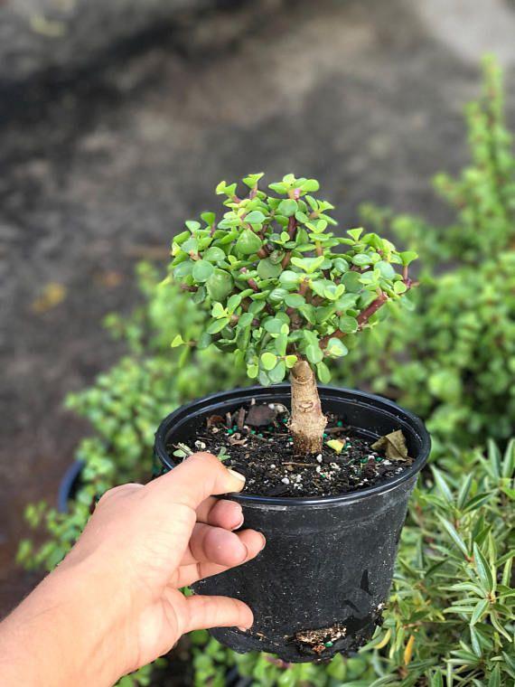 Jade Pre-Bonsai Tree