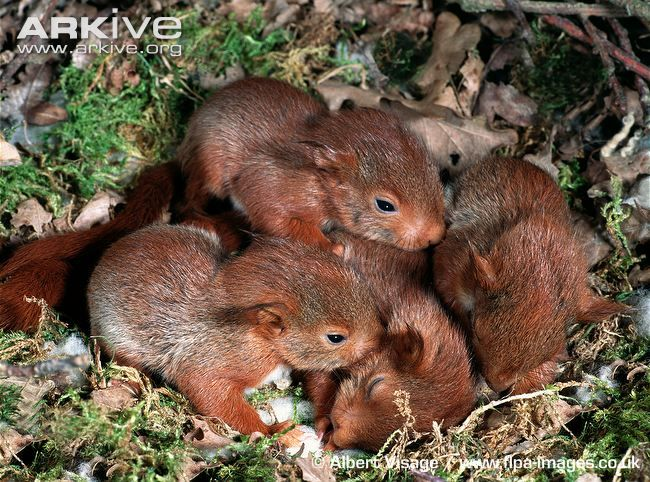 Five week old red squirrel babies in drey