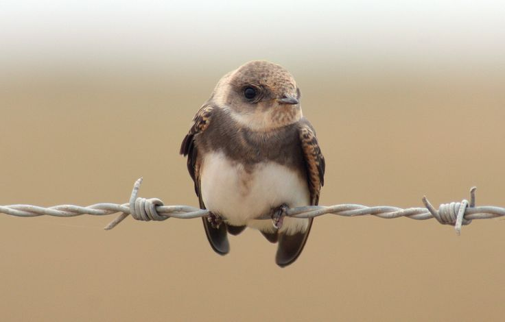 "thalassarche: "" Bank Swallow / Sand Martin (Riparia riparia) - photo by António…"