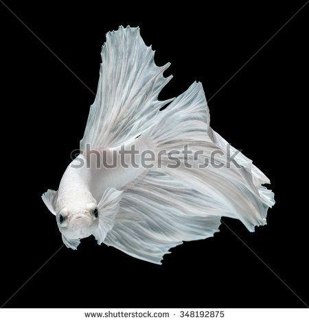Betta fish, siamese fighting fish, betta splendens  isolated on black background - stock photo