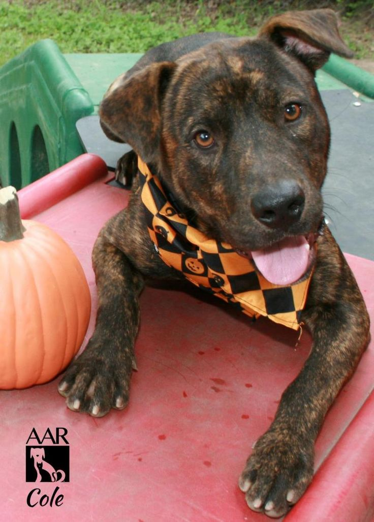 ***URGENT! 10/9/16 Meet Cole, an adoptable Pit Bull Terrier found with hos best friend a 10lb Chihuahua, looking for a forever home. If you're looking for a new pet to adopt or want information on how to get involved with adoptable pets, Petfinder.com is a great resource.