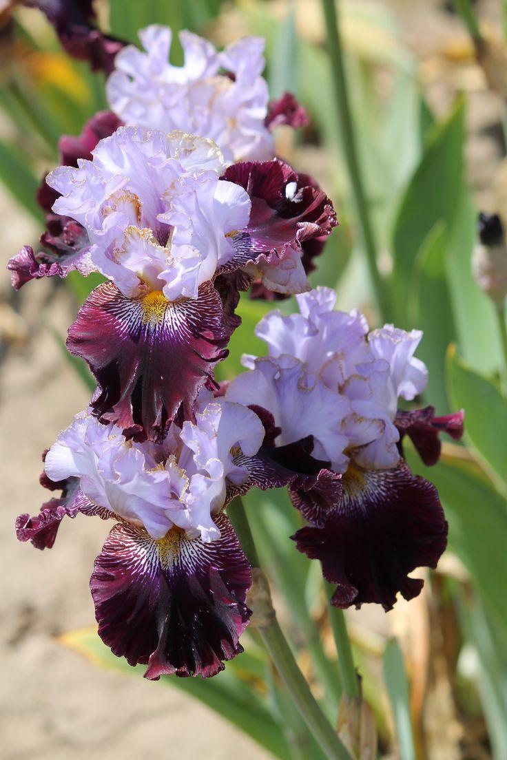 ~TB Iris 'Magic Masquerade' (Black, 2008)