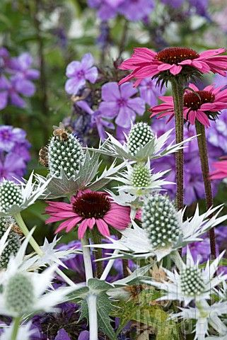 Echinacea, Eryngium and Phlox, landscape, gardening, low water, texture landscaping, flowers, pink flowers, landscape design, landscape architecture, gardening, plant combinations