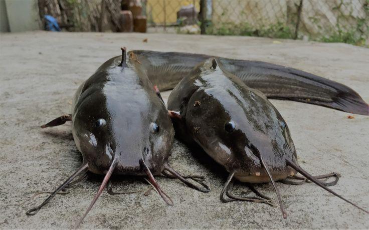 Nông dân Bangladesh làm giàu từ nuôi cá trong bể...   Mạng Thủy sản Việt Nam