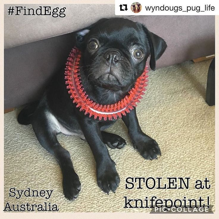 #Repost @wyndougs_pug_life with @repostapp  STOLEN PUG!! Sydney Australia.  All friends keep an eye out for little 14 wk black pug named Egg - his owner was approached by 3 men on their evening walk who stole Egg at knifepoint. Keep an eye out especially in this Sydney heatwave  ---- Police are appealing for public assistance to help locate a dog safely after it was stolen from his owner in Sydney Olympic Park last night.  About 10.30pm (Thursday 9 February 2017) officers from Flemington…