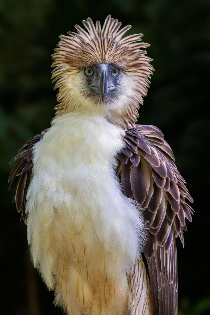 Philippine eagle with ruffled feathers. Photo by Jon Chua.