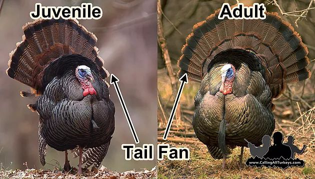 Can you identify whether this gobbler is a juvenile or an adult? Find out and the end of this article.A gobbler answers your calls andsounds as if he is