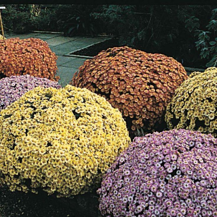 garden cushion chrysanthemums | ... & Biennial Seeds Chrysanthemum indicum 'Charm Early Fashion Mixed