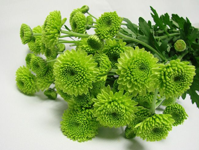 """Crysanthemum (Green Button)""""Sprays/Asters"""" Honestly just way too easy to use, definitely a must."""