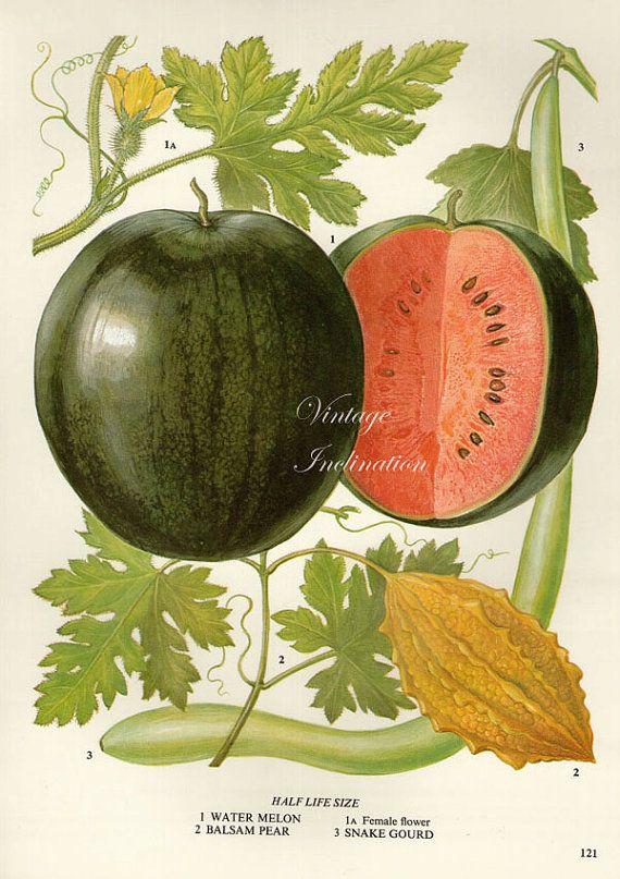Vintage botánico impresión antiguo sandías, planta botánica la impresión lámina…