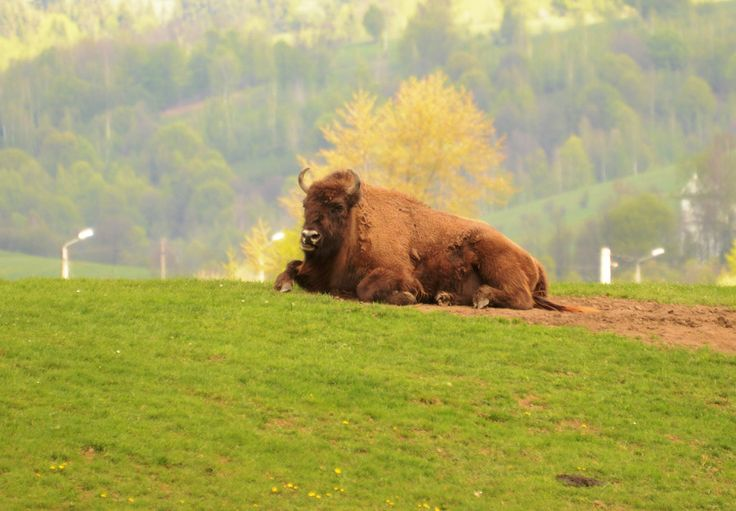 The King Resting by Daniel Calin on 500px. Vama Buzaului, Brasov County, Romania Bison National Park