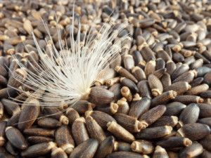 http://natural-fertility-info.com/milk-thistle-seed-important-for-hormonal-balance.html