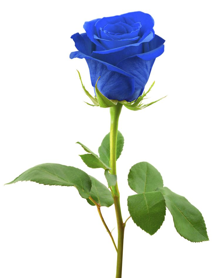 316 best rosas azuis images on pinterest | blue roses, blue, Ideas