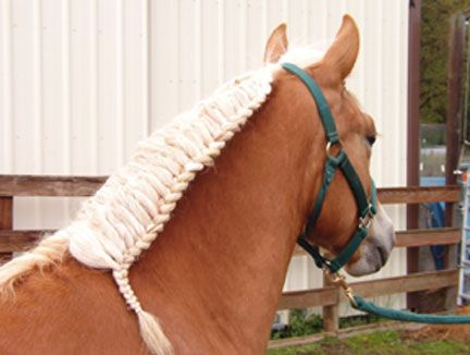 Haflinger Braids and Grooming Techniques