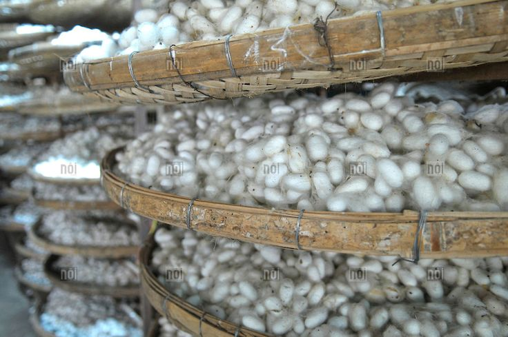 Silkworms in Silk weaving factory in the province of Buon Ma Thuot, Vietnam, Asia