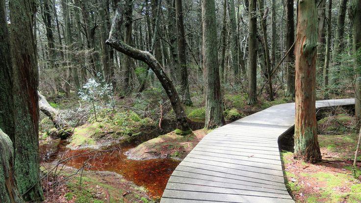 walk the Atlantic White Cedar Swamp Trail